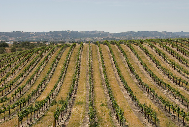 California, San Luis Obispo County: At Eberle Winery and vineyards in Paso Robles, noted for red wines. Field of Cabernet grapes.  .Photo caluis128-70797. .Photo copyright Lee Foster, www.fostertravel.com, 510-549-2202, lee@fostertravel.com