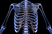 A posterior view of the bones of the upper body. Royalty Free