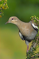 518240019 a wild adult white-winged dove zenaida asiatica perches on a branch in the rio grande valley of south texas