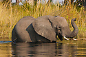 Botswana, Okavango Delta, Moremi Game Reserve,  African elephant   (Loxodonta africana) crossing river in the delta