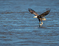 Adult Bald Eagle  lifting off from water with fish