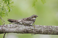 Common Nighthawk (Chordeiles minor), adult at day roost on branch, Sinton, Corpus Christi, Coastal Bend, Texas, USA