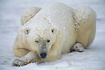 Polar bear winking