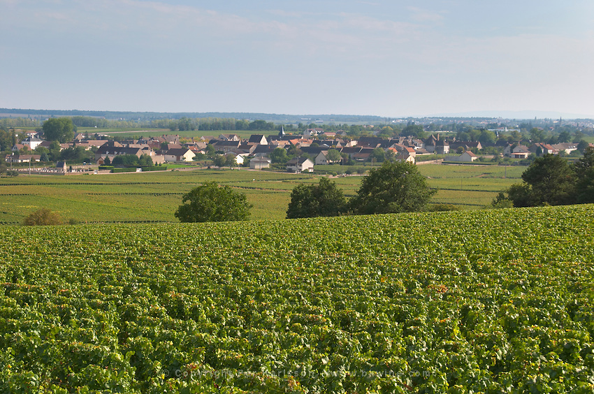 Vineyard. Puligny Montrachet, Cote de Beaune, c d'Or, Burgundy, France