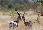 Africa, Kenya, Meru. Pair of Grant's Gazelle.