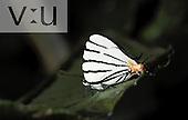 A Sito Stripestreak (Arawacus sito) Alta Cima, Tamaulipas, Mexico