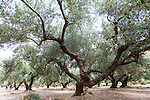An olive grove near the village of Kaliviani, Crete, Greece, Europe