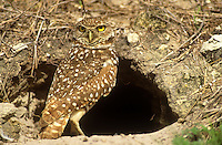 Burrowing Owl at entrance to burrow. Cape Coral, Florida