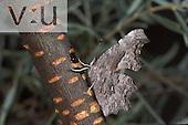 Hoary Comma (Polygonia gracilis) Sheep Crossing, White Mountains, Arizona