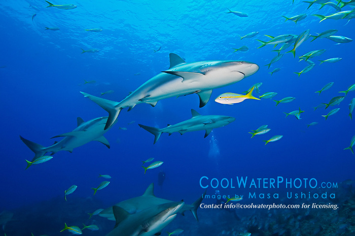 Caribbean Reef Sharks, Carcharhinus perezi, Yellowtail Snappers, Ocyurus chrysurus, and scuba divers, over coral reef, West End, Grand Bahamas, Atlantic Ocean