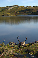Head of hunted reindeer,Forollhogna,Norway Landscape, landskap,