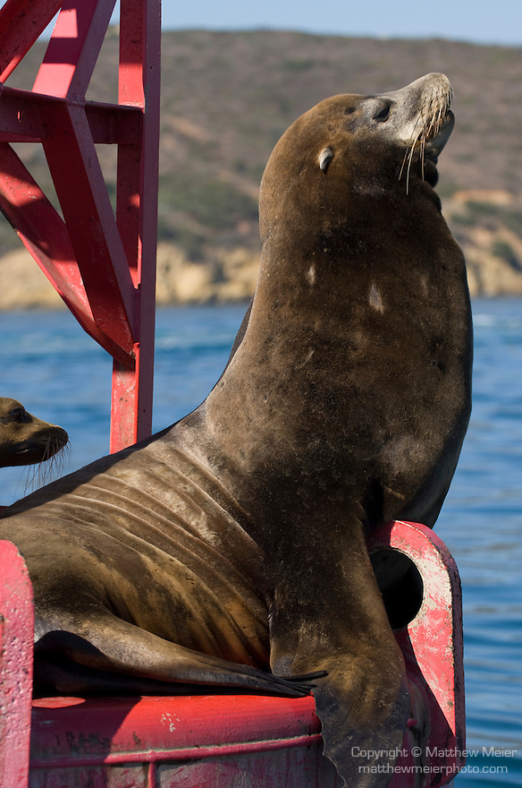 San Diego Bay, San Diego, California; a large bull male California Sea Lion (Zalophus californianus) hauls out of the water on a red channel marker buoy
