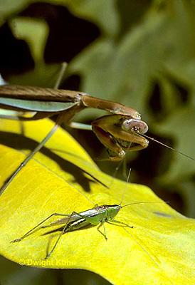 1M29-001a  Praying Mantis adult preying on grasshopper - Chinese Praying Mantis - Tenodera aridifolia sinensis.