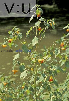 Touch-Me-Not or Jewelweed ,Impatiens capensis,, North America.