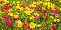 797050037 field of wildflowers with brilliant red drummonds phlox phlox drummondii and other wildflowers including some texas bluebonnets lupinus texensis in de witt county texas