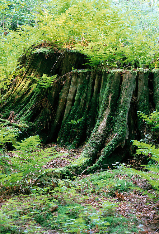 Enormous ancient western red cedar stump sprouting ferns in Stanley Park, Vancouver, BC.