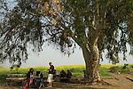 T-132 Eucalyptus tree in Ein Sarona