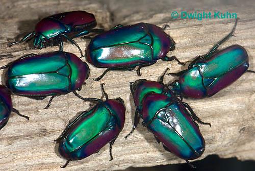 1C37-537z  Flower Beetle, Smaragdesthes africana oertzeni, Afirca