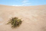 Broom, Fabaceae sp, on sand dunes, Corralejo Dunes National Park (Parque Natural de las Dunas de Corralejo), Fuerteventura, Canary Islands, Spain
