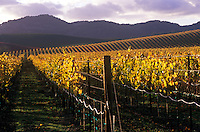 Autumn color in the vineyards. Carneros region of Napa County, California.