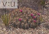 Strawberry Pitaya Cactus (Echinocereus stramineus), Texas, USA.