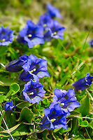 Trumpet Gentian ( Gentiana Acaulis ) . Faulhorn Mountain , Bernese Alps . Switzerland Europe