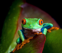 Studio shot of Red-eyed Treefrog (Agalychnis callidryas), captive.