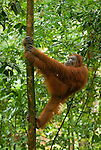 A Sumatran orangutan does a silly walk up a sapling in Gunung Leuser National Park.