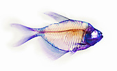 White-finned Tetra skeleton stained with Alizarin Red