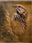 Birds_Lark Sparrow (Chondestes grammacus).  Photograph by Alan Mahood.