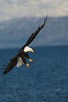 A bald eagle fishing at Kachemak Bay in Homer, Alaska.