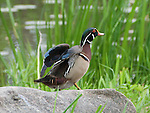 A colorful male Wood Duck stands atop a boulder near a pond in the Minnehaha Watershed District which includes Lake Nokomis.