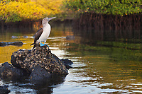 Blue footed booby, Santa Cruz Island, Galapagos Islands, Ecuador.