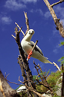 Red-footed Booby or A or Sula sula rubripes perching at Marine Base Hawaii colony