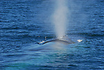 Blue whales feeding