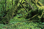 Moss-covered fallen logs, Hoh Rainforest, Olympic National Park, Washington