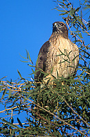 542103041 a wild red-tailed hawk buteo jamaicensus perches in a tall tree with a fall color background sacramento national wildlife refuge in central california