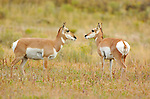 Pronghorn Females, North Entrance, Yellowstone National Park, Gardiner, Montana