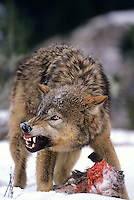 694926298 a captive gray wolf  canis lupus stands over a deer kill in a snowbank defending it by snarling at an intruder and baring its fangs in central montana