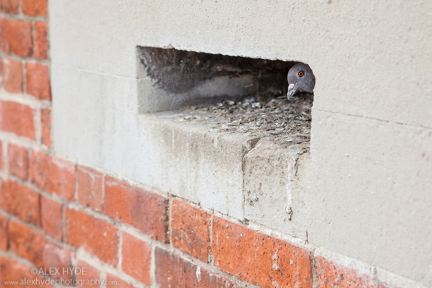 Rock Dove / Feral Pigeon (Columba livia) nesting in building. Portsmouth, UK.