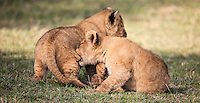 Lion cubs playing in the Masai Mara Reserve, Kenya, Africa (photo by Wildlife Photographer Matt Considine)