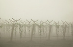 New vineyard in summer fog