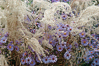Aster 'Calliope', Miscanthus 'Kleine Fontaine' (GR4735), ornamental grass and flowers in pretty combination in autumn fall color