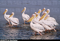 White Pelicans (Pelicanus onocrotalus). Namibia. Downloade a high resolution stock photo at http://www.agefotostock.com/en/Stock-Images/Rights-Managed/L48-284772