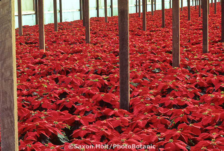Poinsettia - Euphorbia pulcherrima  in commercial greenhouse, Richmond, CA
