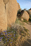 Desert bells growing from the rocks, Joshua Tree National Park, California
