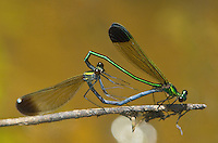 Insects: damselflies