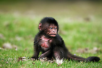 Gelada infant male aged less than 1 month sitting (Theropithecus gelada), Simien Mountains National Park, Ethiopia.