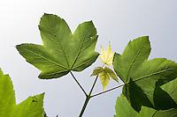 Bergahorn, Berg-Ahorn, Berg - Ahorn, Acer pseudoplatanus, Blätter, Blatt gegen blauen Himmel, Laub, Sycamore, Erable sycomore
