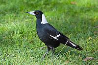 Australian Magpie, Botanical Gardens, Sydney